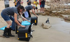 Journalism adventures: Watching SAPREC penguins swim home