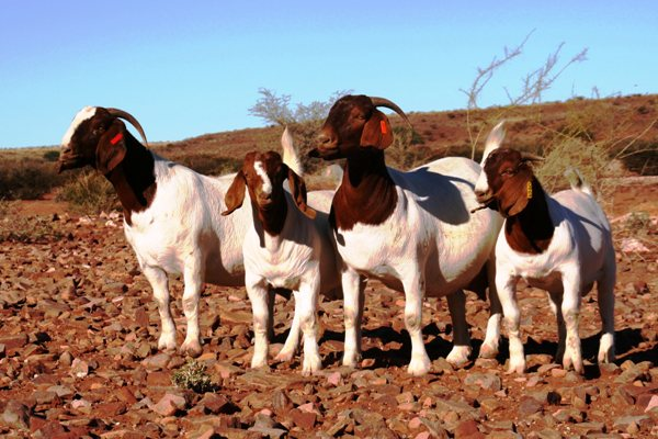 Crowned World Champion breeder boer goats for the second time. Riekie de Witt